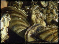 Closeup of a mass of zebra mussels